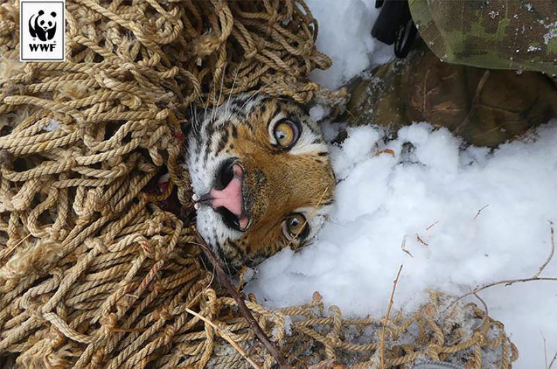 Rusia Tigre Siberiano Que Come Perros Fuerza A Realizar Una Singular Operación De Rescate Chapin Tv