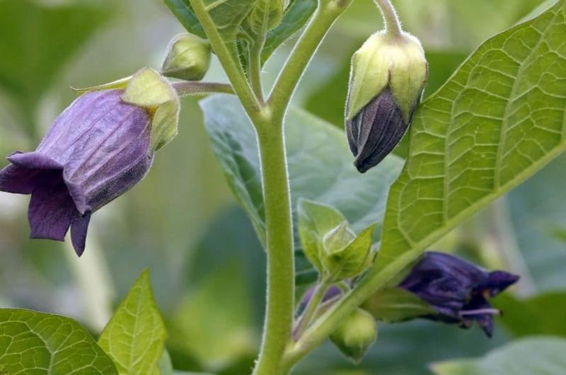 Esta Planta Podría Curar El Cáncer De Próstata Chapin Tv